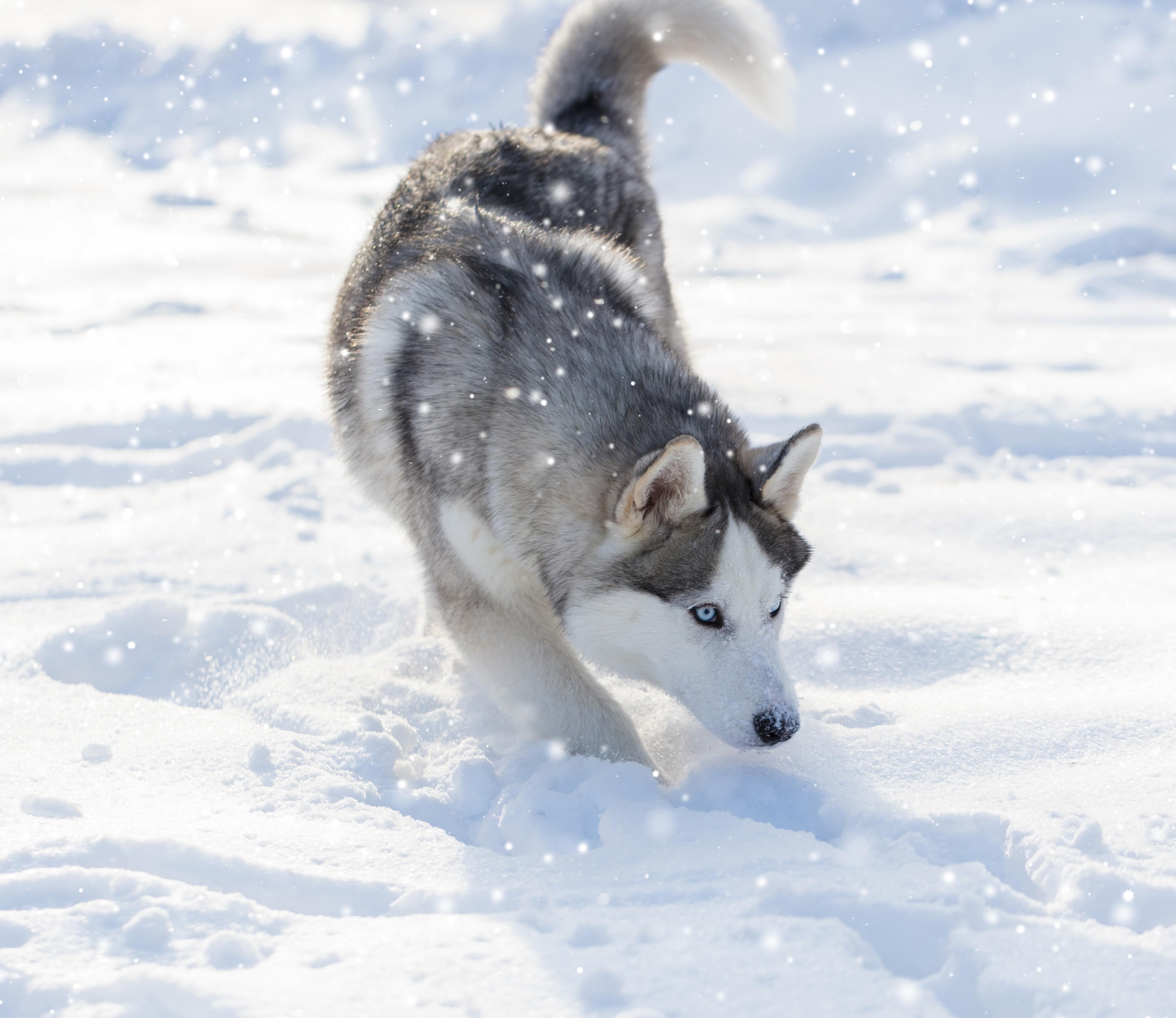 Husky siberien dans la neige