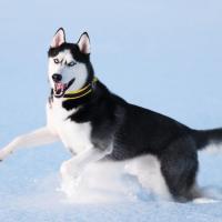 Husky Sibérien qui court dans la neige