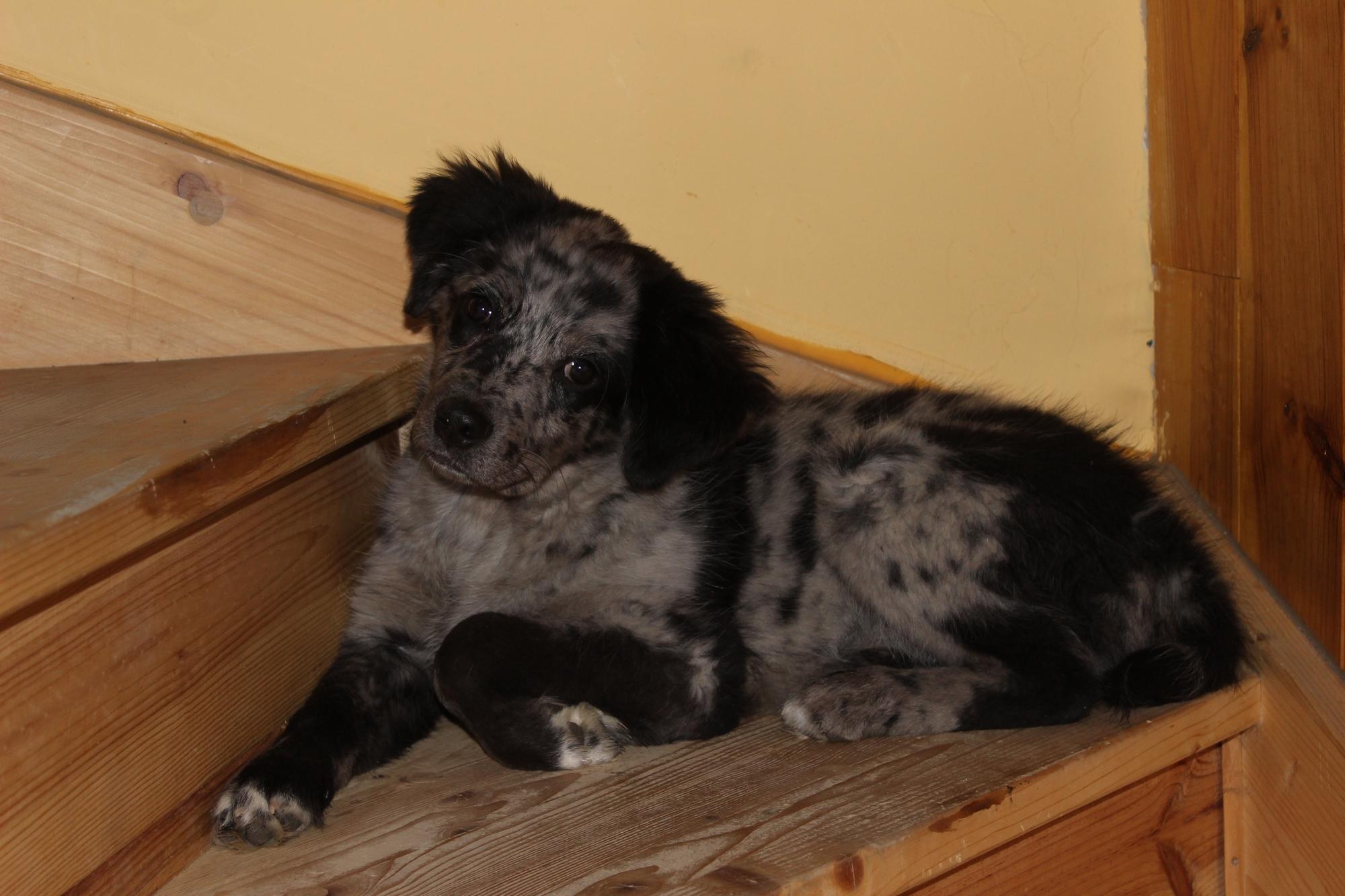 Hyuna 4 mois, croisé Border Collie