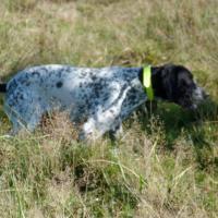 Iangha, chienne Braque d'Auvergne à l'arrêt
