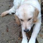 Iago, Golden Retriever de 8 mois !