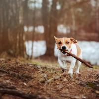 Jack Russell qui court en forêt avec un bâton