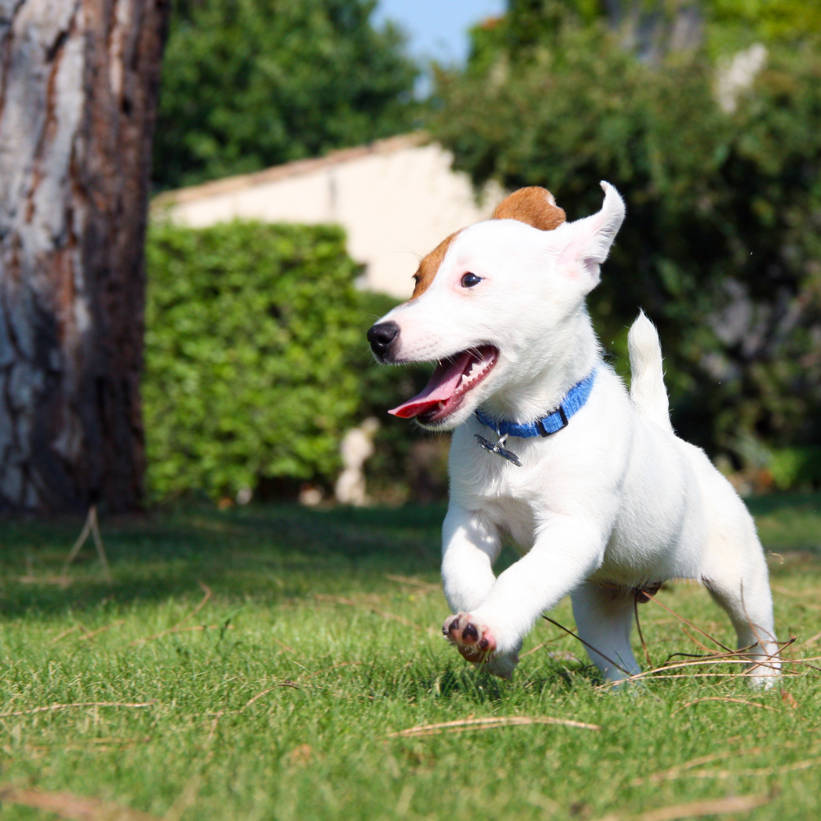 Jack Russell qui court