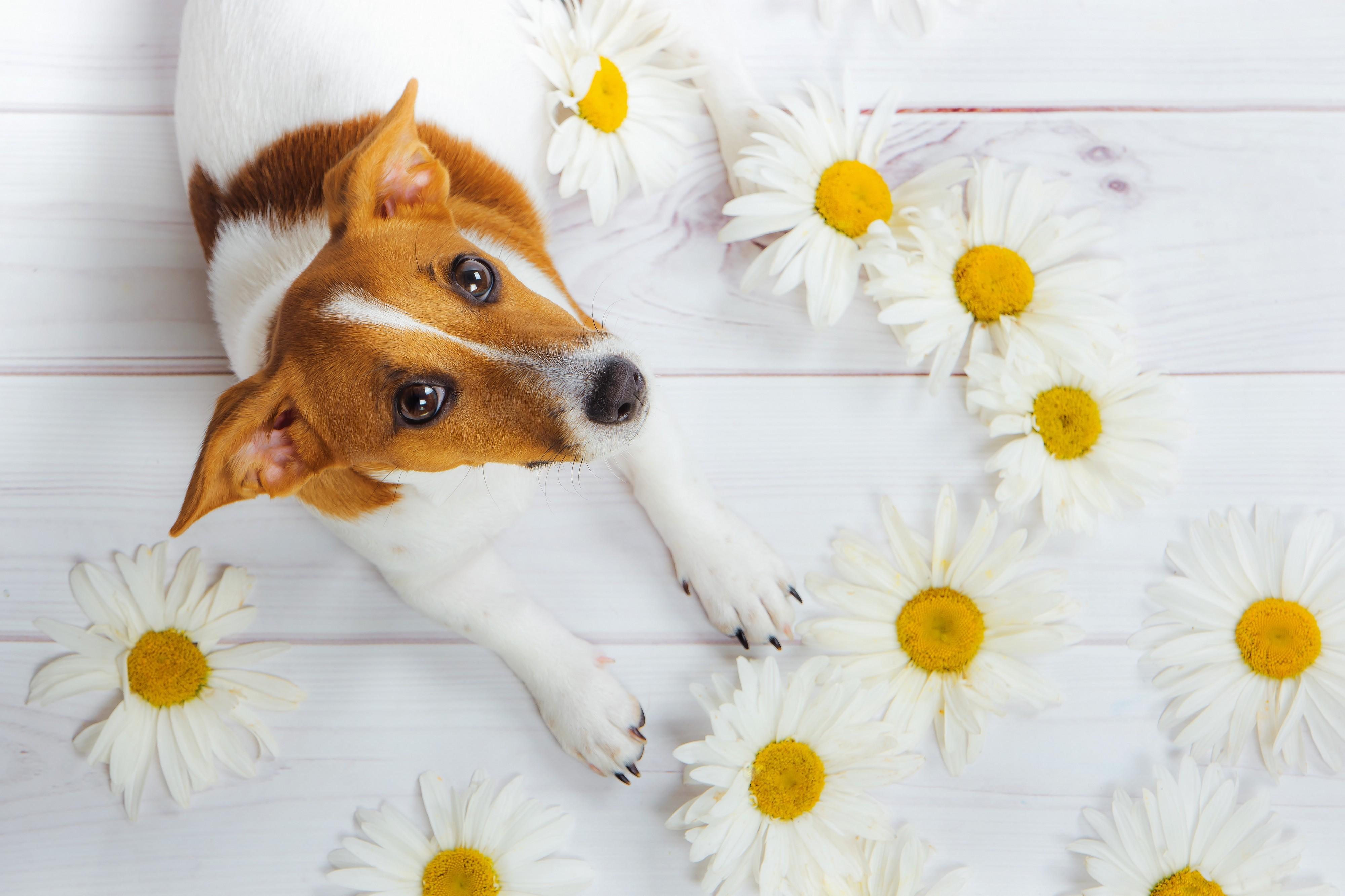 Jack Russell avec des fleurs