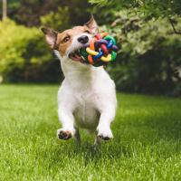 Jack Russell avec son jouet