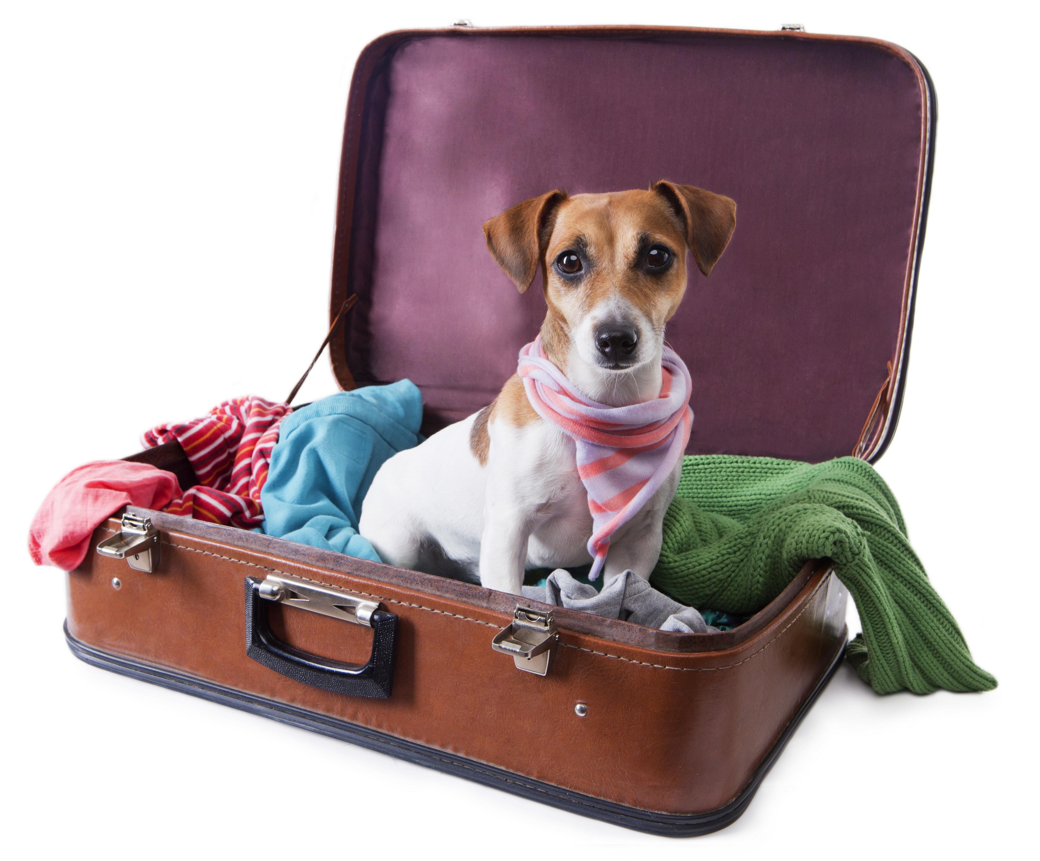 Jack Russel dans une valise