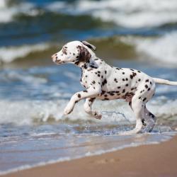 Jeune chiot Dalmatien à la mer