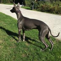 Joggy, chien Lévrier Whippet bleu de 9 mois