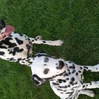 Jolie et Léhnon, les dalmatiens de Cathy