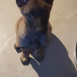 Kayzer 3 mois, le petit Berger Belge Malinois d'Emily