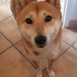 Kira 6 ans, la Shiba Inu de Shannon
