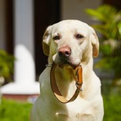 Labrador couleur crème avec son collier