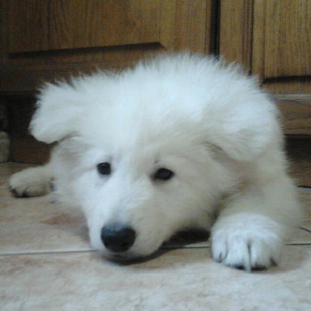 Laiko, Berger Blanc Suisse à 3 mois