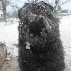 Le Bouvier de Denise qui joue avec la neige !