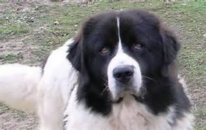 Le chien des Pyrénées de Gilles