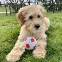 Le Goldendoodle de Mag avec son ballon