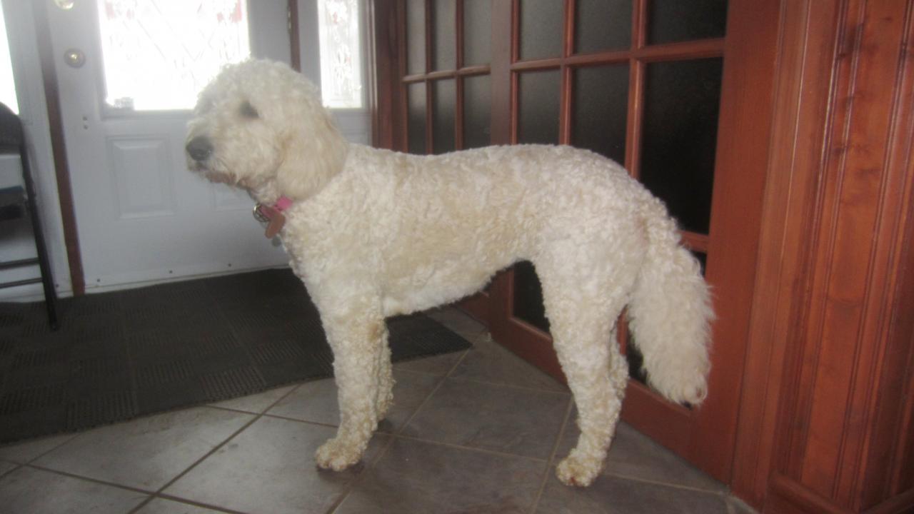 Le Goldendoodle de Vivianne, 3 ans