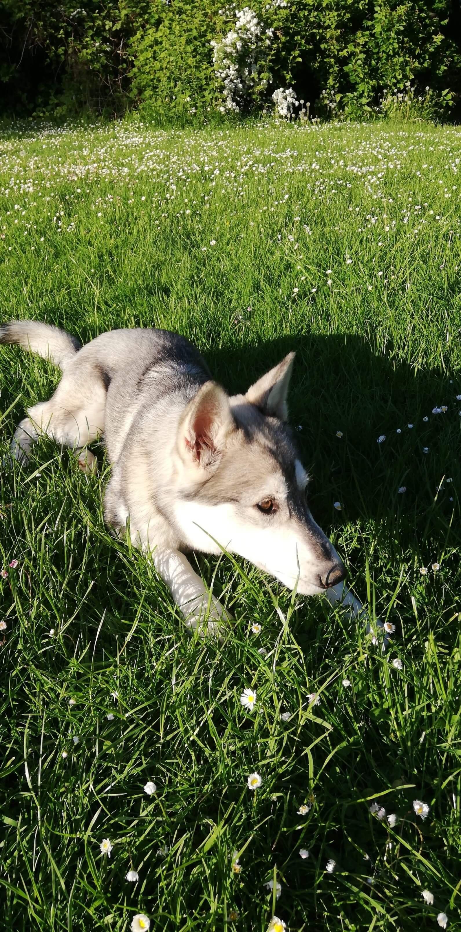 Le Husky Sibérien de Maxime