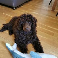 Le magnifique Caniche Toy de Florie, 3 mois et demi