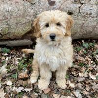 Le magnifique Goldendoodle de Mag 4 mois