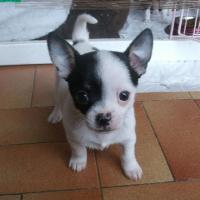Le petit Chihuahua de Muriel à 8 mois