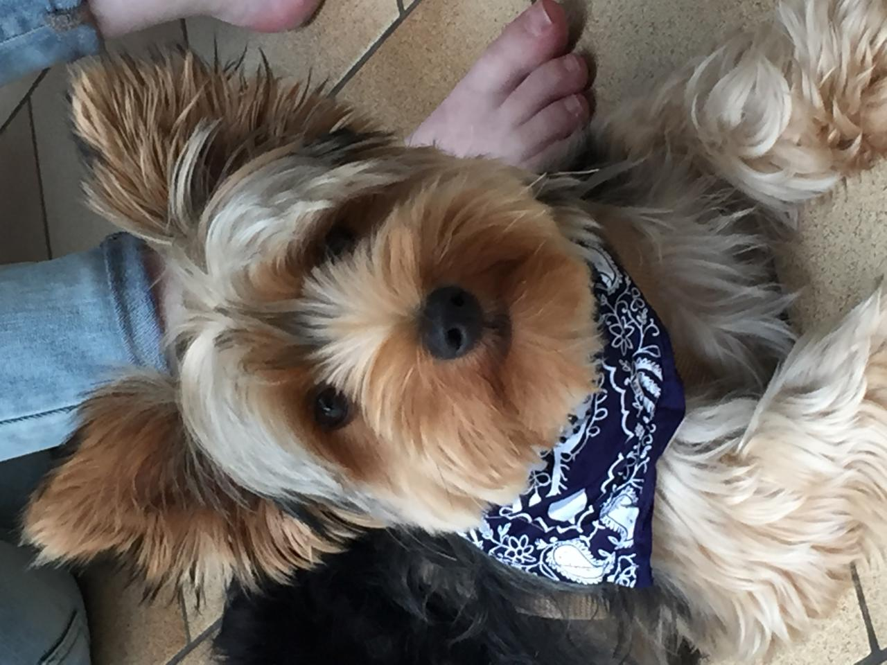 Le petit York de Myriam avec son joli bandana