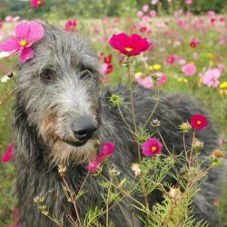 Lévrier Ecossais dans un champs de fleurs