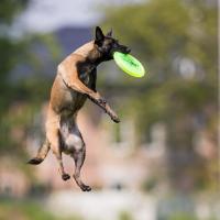 Malinois qui attrape un frisbee en sautant