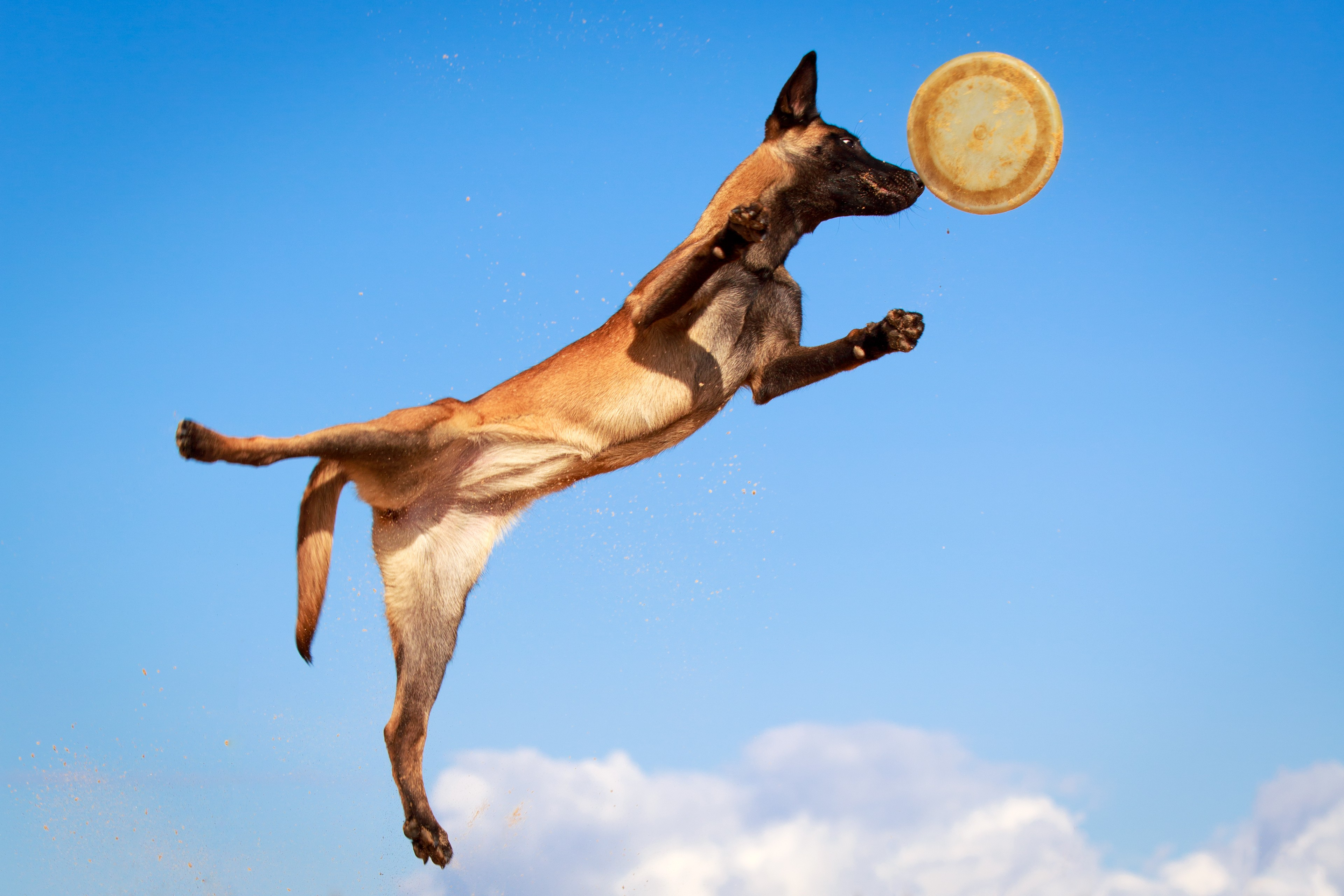 Malinois qui saute pour attraper un frisbee