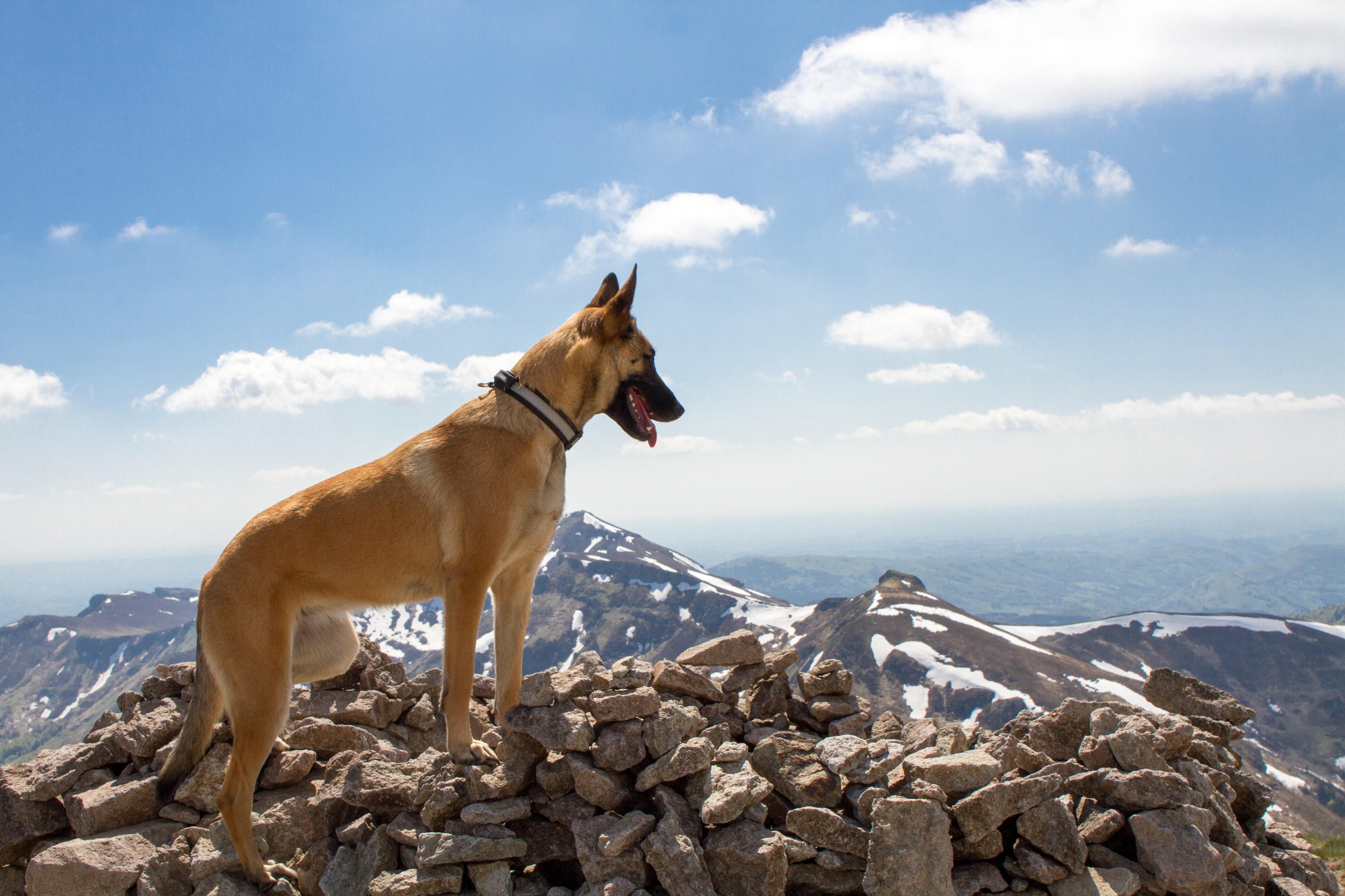 Malinois en haut d'une montagne
