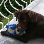 Malone, un joli Labrador Retriever