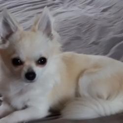 Manny le Chihuahua de Catherine