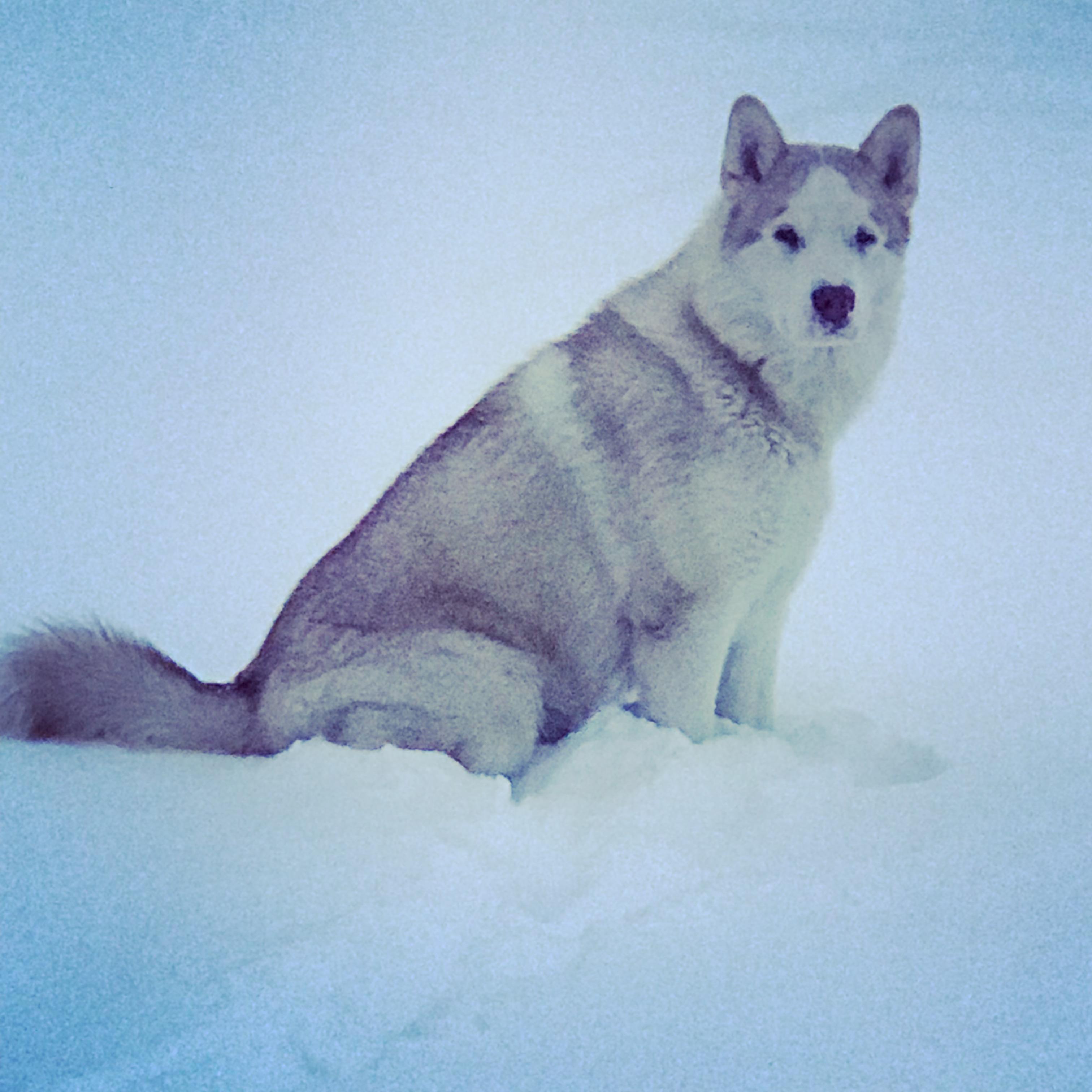 Marley, le Malamute de Romaric à la neige