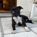 Missy 4 ans l'Américain Staffordshire Terrier de Djodie