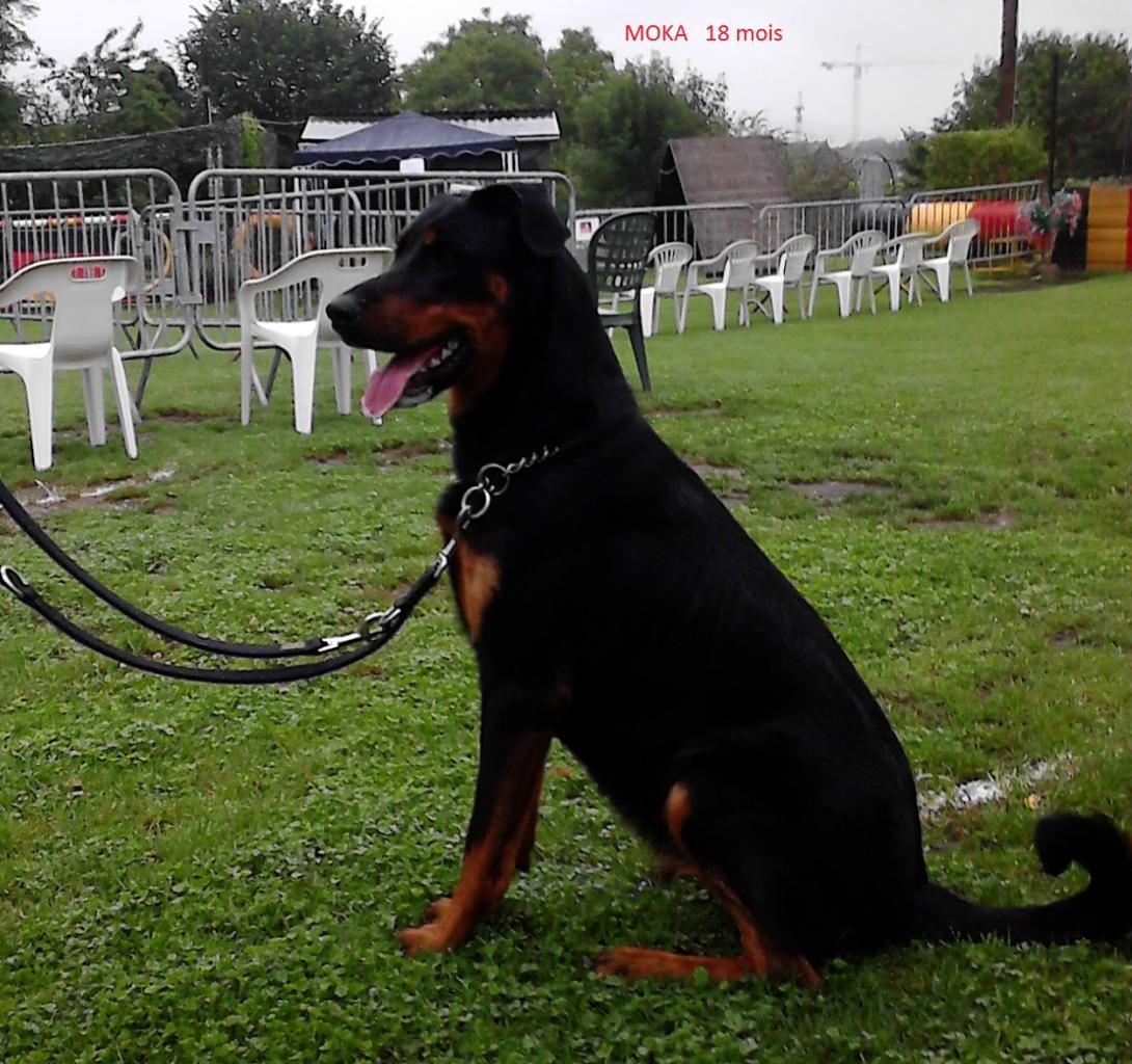Moka 18mois, la chienne Beauceronne de Jean-François