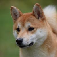 Myôga femelle shiba de 1 an et demi