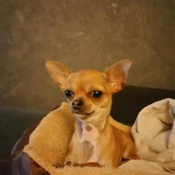 Nina, la petite Chihuahua de Mireille