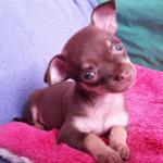 Noushka 2 mois, la petite Chihuahua de Alessandro