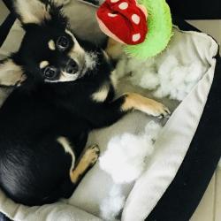 Nuts 7 mois, le petit Chihuahua de Laura