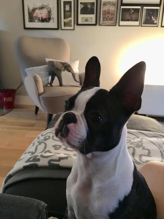 Olly 6 mois, la chienne Boston Terrier d'Elodie