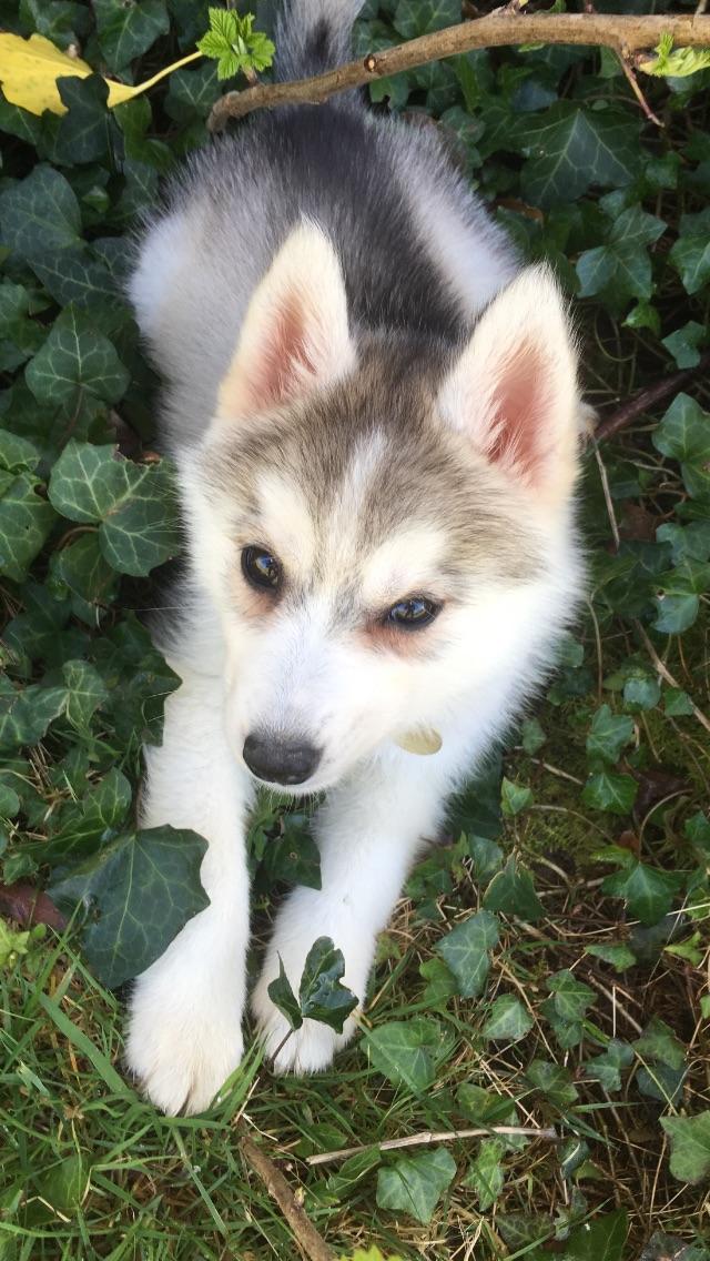 Oxann, la Husky Sibérienne de Chantal