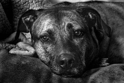Plott Coonhound couché