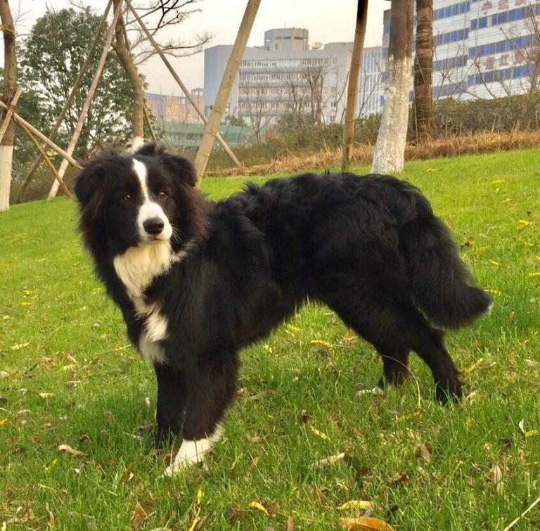 Pocky, chien Border Collie