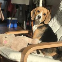 Poppy la petite Beagle de Arnaud