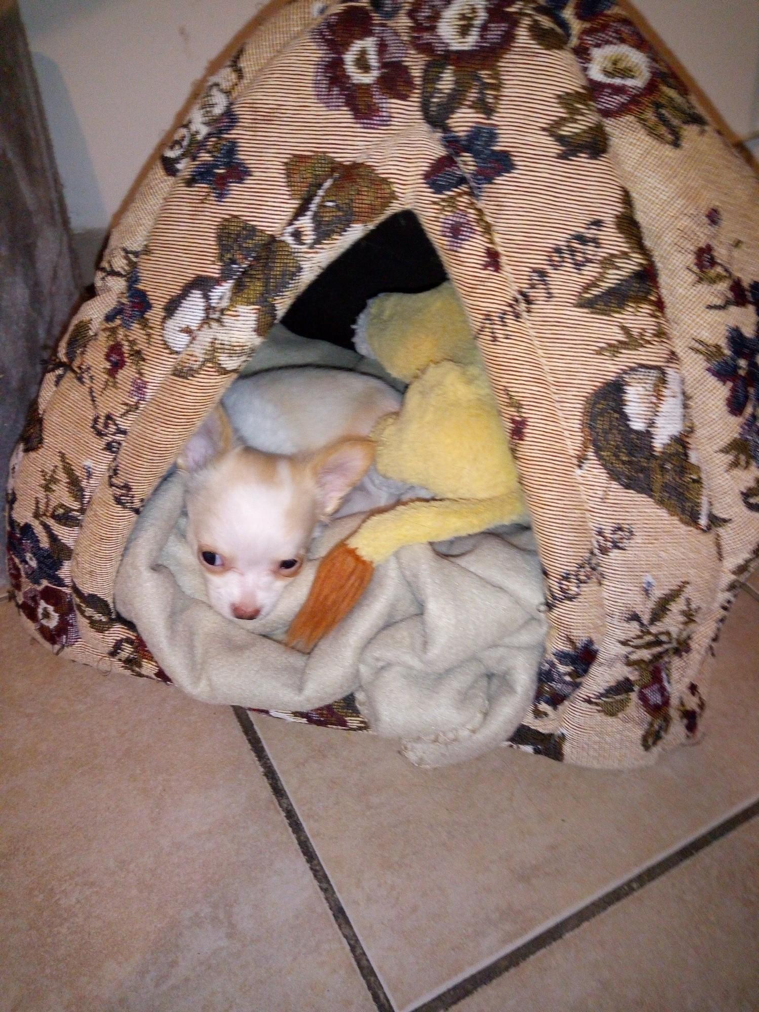 Praline, jeune Chihuahua de 2 mois