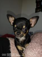 Prunelle la petite Chihuahua de Christine