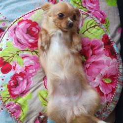 Ritta, chienne Chihuahua de Dorra
