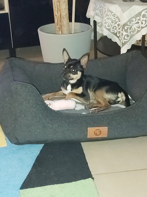 Roméo, le Chihuahua de Alessendro