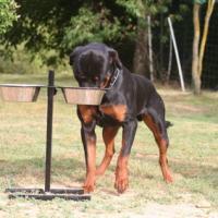 Rottweiler avec son support de gamelle