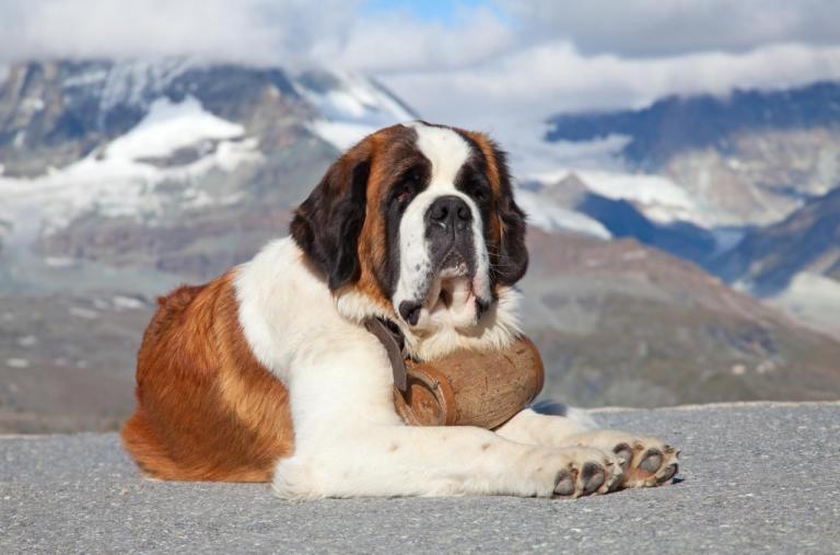 Saint Bernard couché, à la montagne
